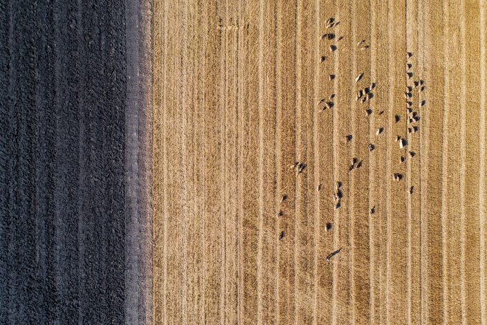 Sheep Herd Romania Alex Axon Drone Photography