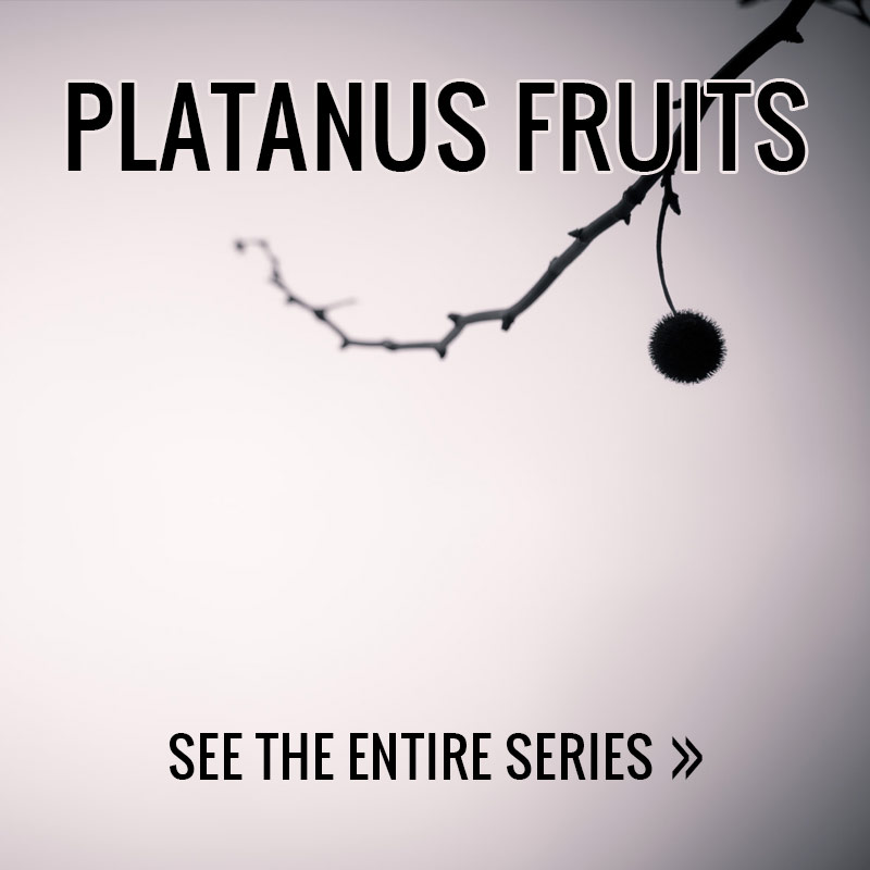 Platanus Fruits